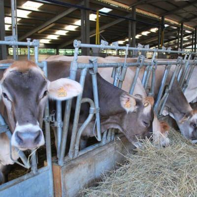Bovine nella stalla