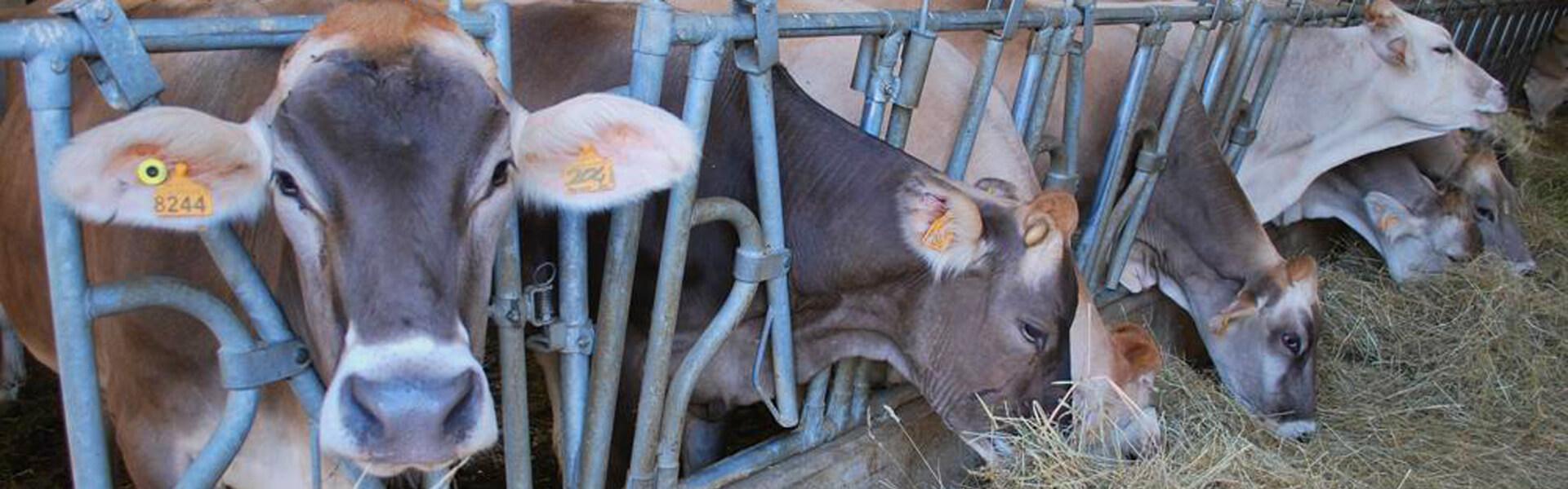 Le bovine nella stalla